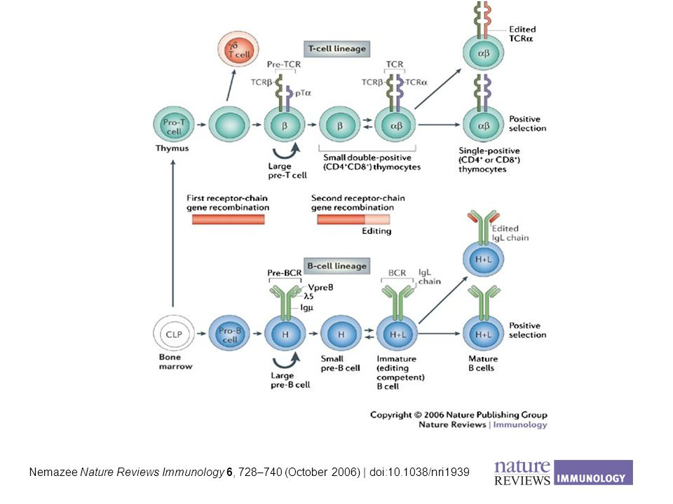Nemazee Nature Reviews Immunology 6, 728–740 (October 2006) | doi:10.1038/nri1939