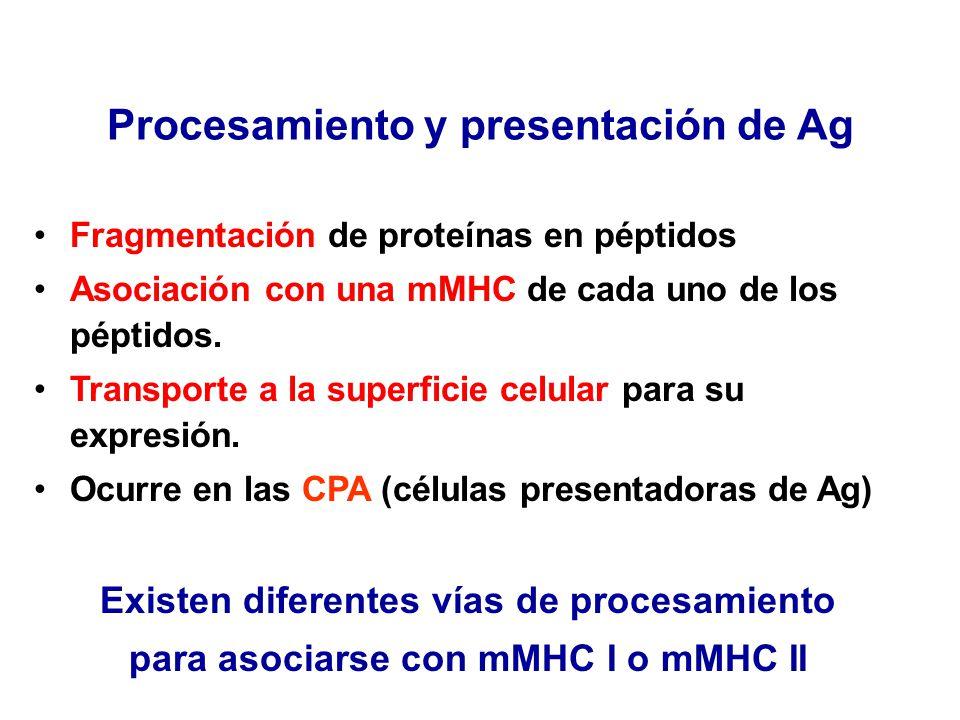 Procesamiento y presentación de Ag Fragmentación de proteínas en péptidos Asociación con una mMHC de cada uno de los péptidos. Transporte a la superfi