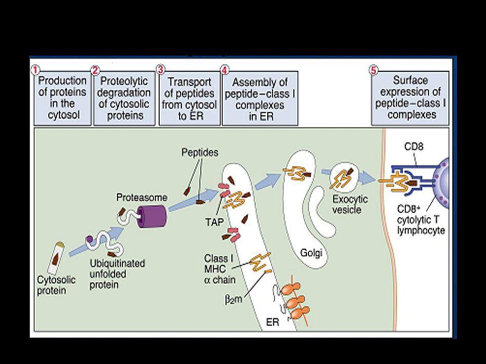 Vía citosólica de procesamiento del Antígeno