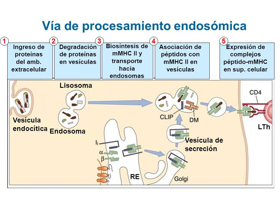 Endosoma Vesícula endocítica Lisosoma RE Vesícula de secreción Ingreso de proteínas del amb. extracelular Degradación de proteínas en vesículas Biosín