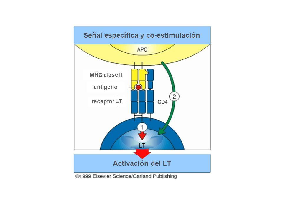 Señal específica y co-estimulación Activación del LT LT receptor LT antígeno MHC clase II