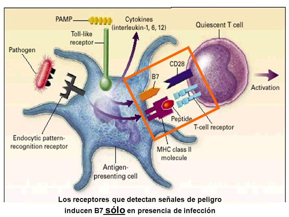 Los receptores que detectan señales de peligro inducen B7 sólo en presencia de infección