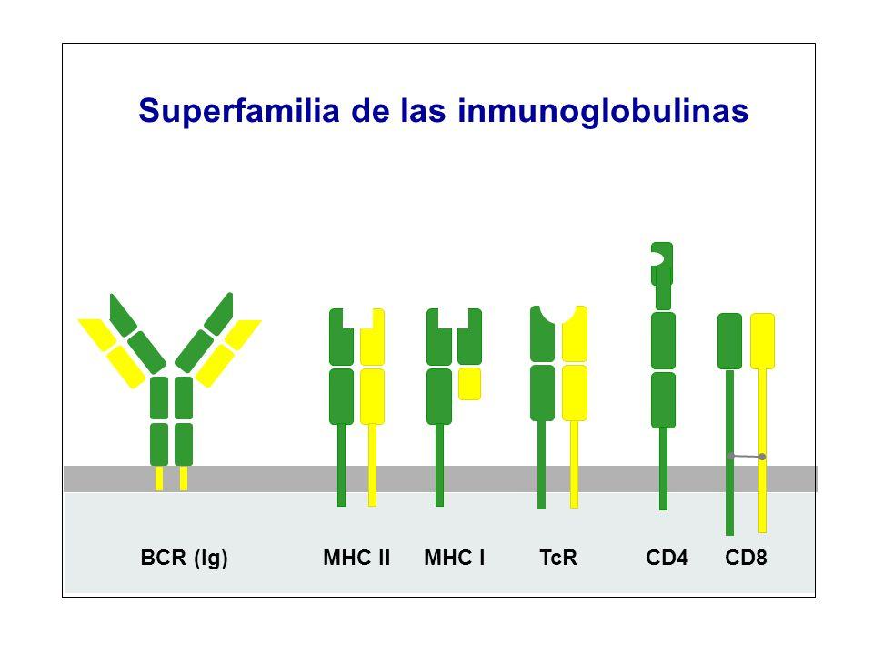 CD4CD8TcRMHC IIMHC IBCR (Ig) Superfamilia de las inmunoglobulinas