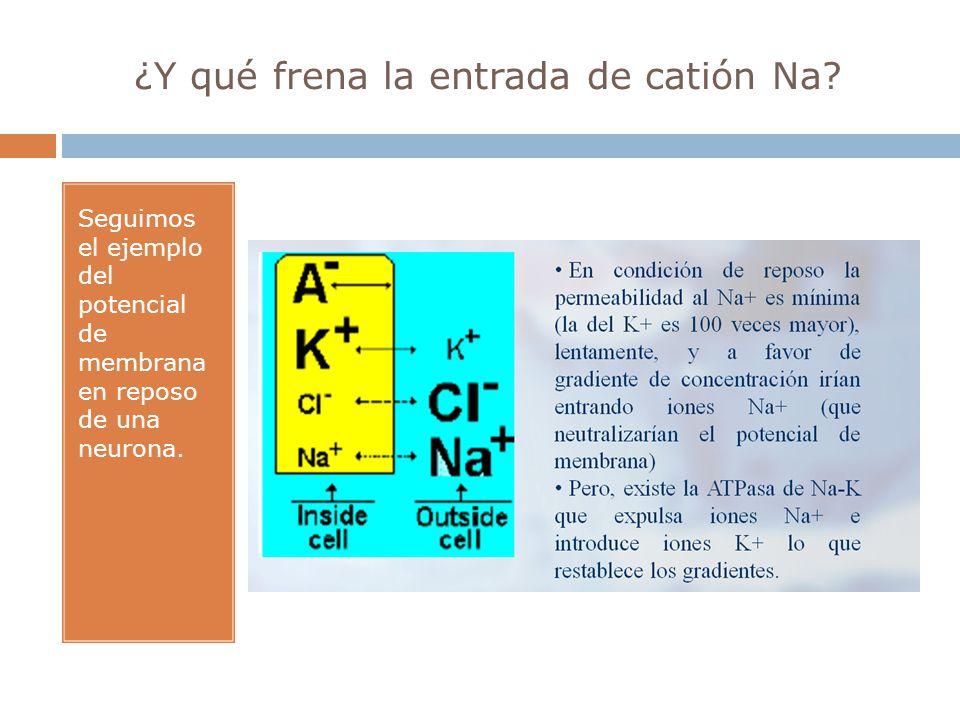 ¿Y qué frena la entrada de catión Na? Seguimos el ejemplo del potencial de membrana en reposo de una neurona.