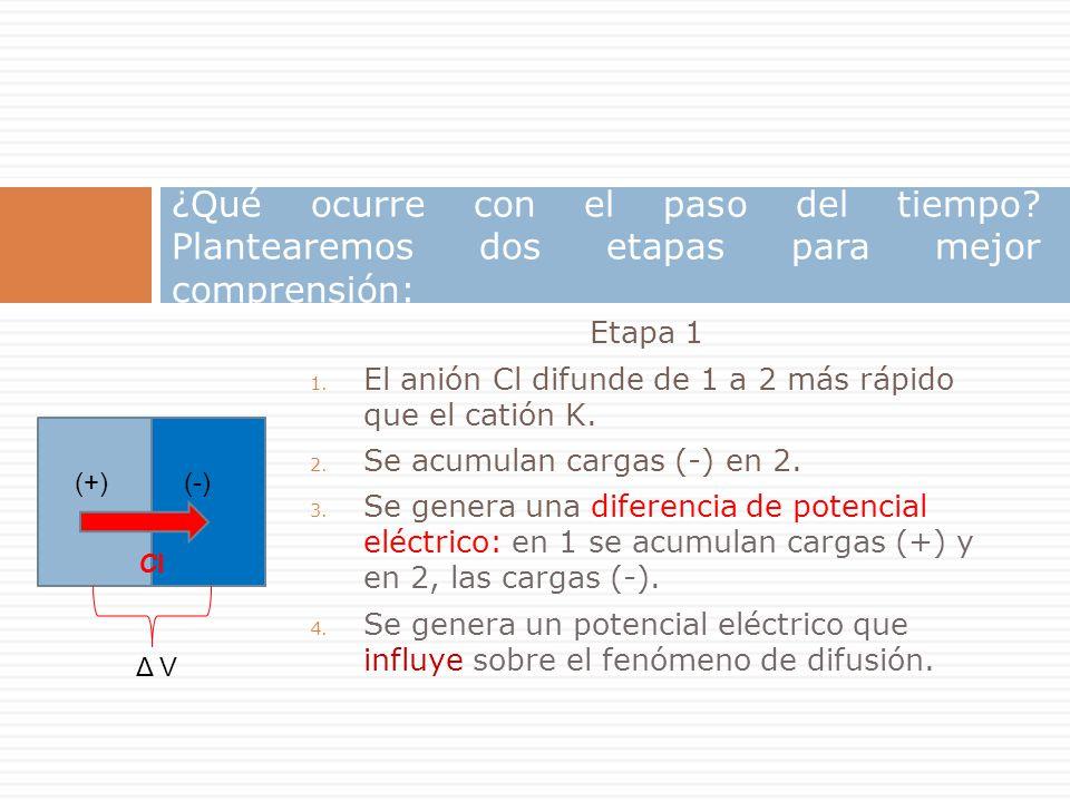 Etapa 1 1. El anión Cl difunde de 1 a 2 más rápido que el catión K. 2. Se acumulan cargas (-) en 2. 3. Se genera una diferencia de potencial eléctrico