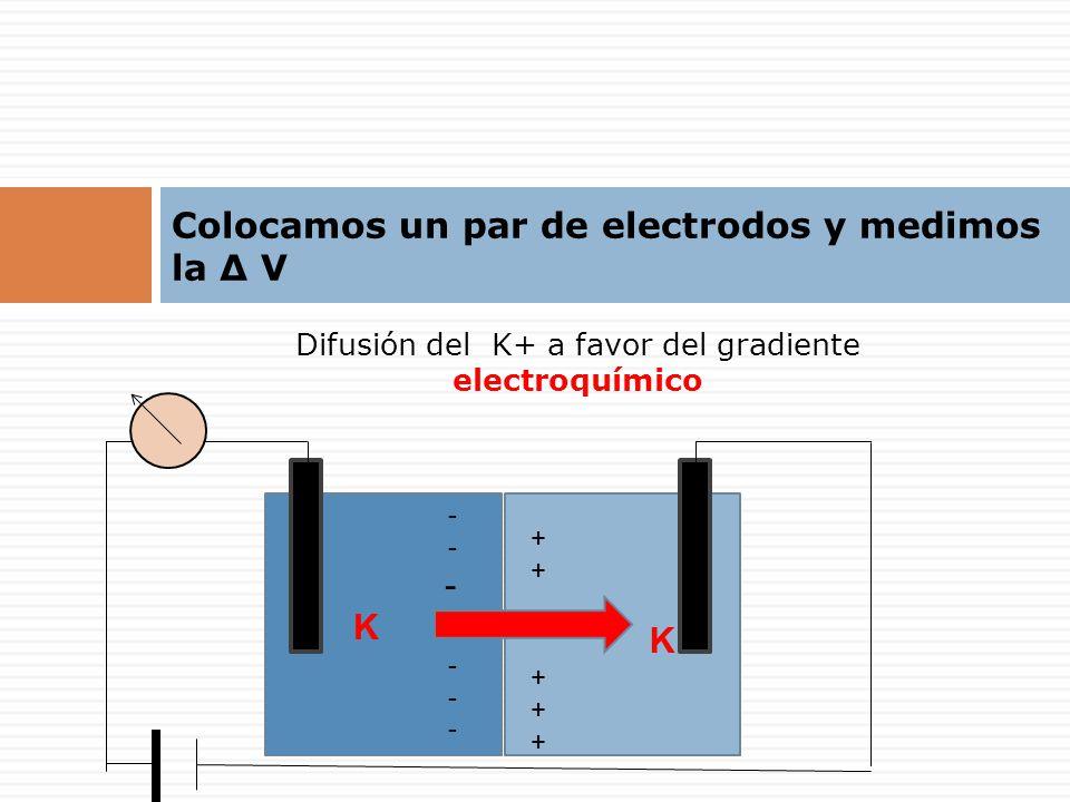Difusión del K+ a favor del gradiente electroquímico + K + ---K------K--- Colocamos un par de electrodos y medimos la Δ V