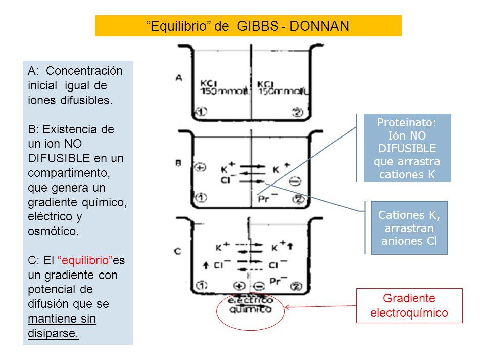 Equilibrio de GIBBS - DONNAN A: Concentración inicial igual de iones difusibles. B: Existencia de un ion NO DIFUSIBLE en un compartimento, que genera