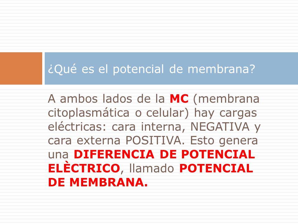 ¿Qué es el potencial de membrana? A ambos lados de la MC (membrana citoplasmática o celular) hay cargas eléctricas: cara interna, NEGATIVA y cara exte