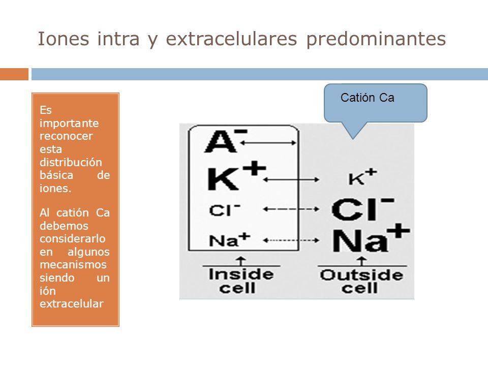 Iones intra y extracelulares predominantes Es importante reconocer esta distribución básica de iones. Al catión Ca debemos considerarlo en algunos mec