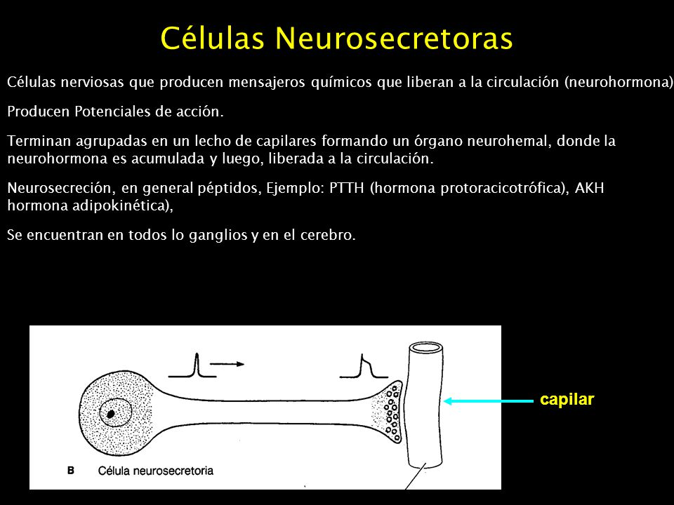 Células Neurosecretoras Células nerviosas que producen mensajeros químicos que liberan a la circulación (neurohormona) Producen Potenciales de acción.