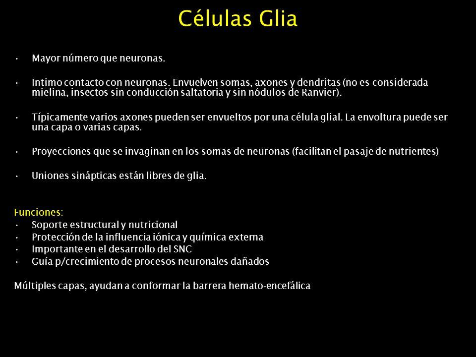 Células Glia Mayor número que neuronas. Intimo contacto con neuronas. Envuelven somas, axones y dendritas (no es considerada mielina, insectos sin con
