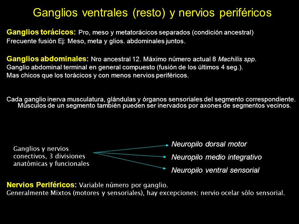 Ganglios torácicos: Pro, meso y metatorácicos separados (condición ancestral) Frecuente fusión Ej: Meso, meta y glios. abdominales juntos. Ganglios ab