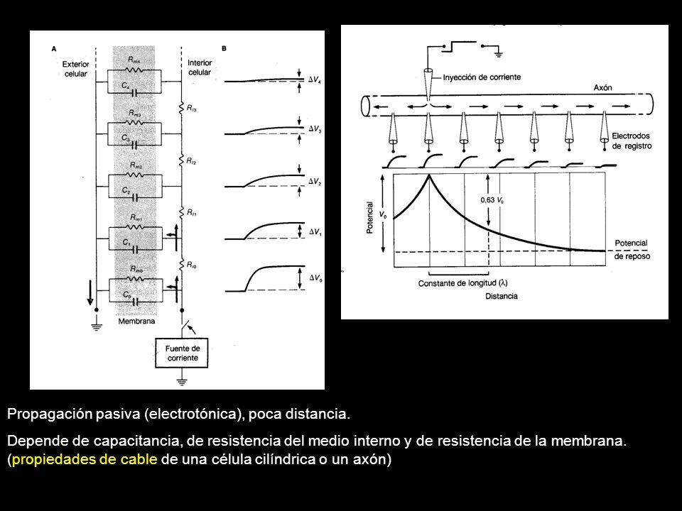 Propagación pasiva (electrotónica), poca distancia. Depende de capacitancia, de resistencia del medio interno y de resistencia de la membrana. (propie
