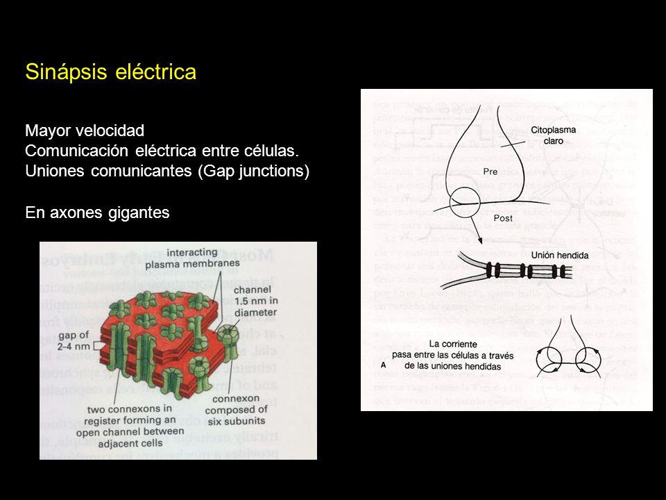 Sinápsis eléctrica Mayor velocidad Comunicación eléctrica entre células. Uniones comunicantes (Gap junctions) En axones gigantes