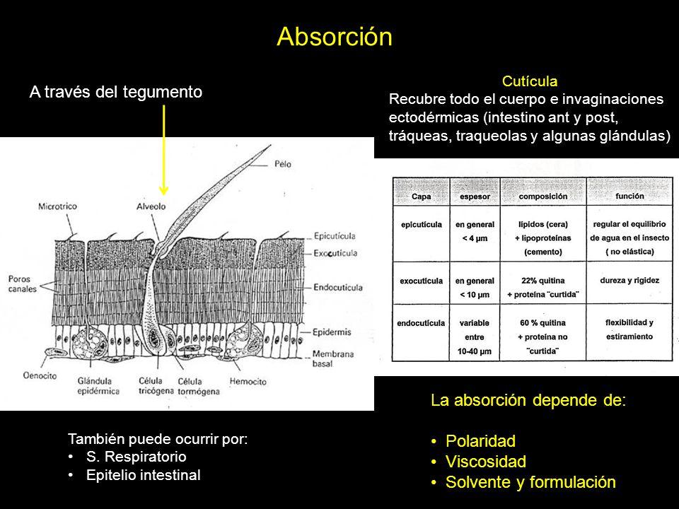 Absorción A través del tegumento Cutícula Recubre todo el cuerpo e invaginaciones ectodérmicas (intestino ant y post, tráqueas, traqueolas y algunas g