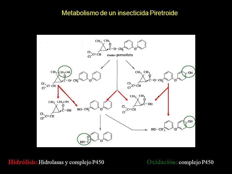 Metabolismo de un insecticida Piretroide Hidrólisis: Hidrolasas y complejo P450 Oxidación: complejo P450