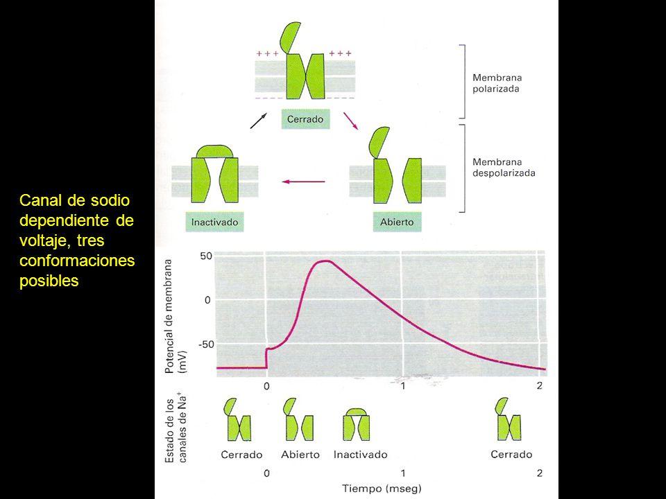 Canal de sodio dependiente de voltaje, tres conformaciones posibles