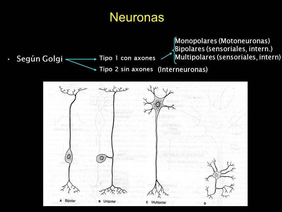 Neuronas Según Golgi Tipo 1 con axones Tipo 2 sin axones Monopolares (Motoneuronas) Bipolares (sensoriales, intern.) Multipolares (sensoriales, intern