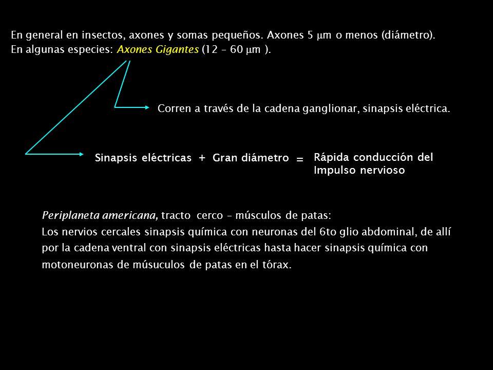 Ganglios torácicos: Pro, meso y metatorácicos separados (condición ancestral) Frecuente fusión Ej: Meso, meta y glios.