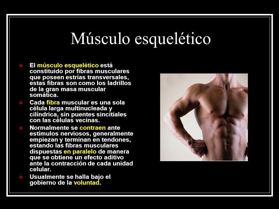 Músculo esquelético El músculo esquelético está constituido por fibras musculares que poseen estrías transversales, estas fibras son como los ladrillo