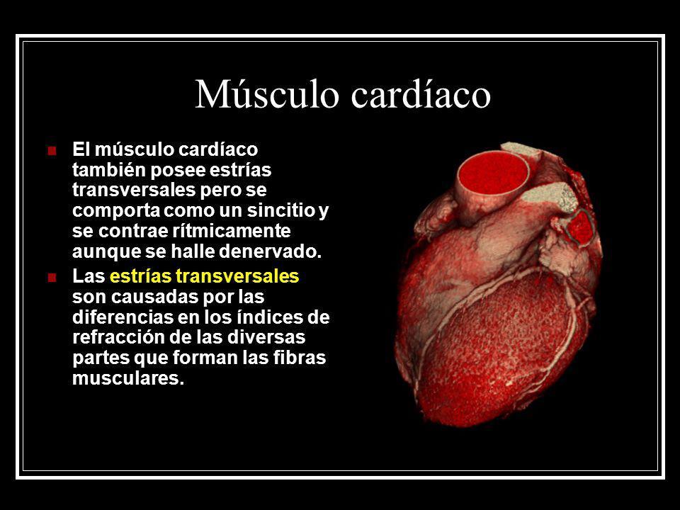 Músculo cardíaco El músculo cardíaco también posee estrías transversales pero se comporta como un sincitio y se contrae rítmicamente aunque se halle d