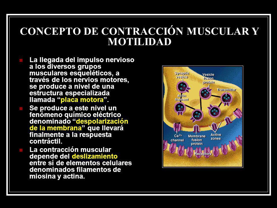 CONCEPTO DE CONTRACCIÓN MUSCULAR Y MOTILIDAD La llegada del impulso nervioso a los diversos grupos musculares esqueléticos, a través de los nervios mo