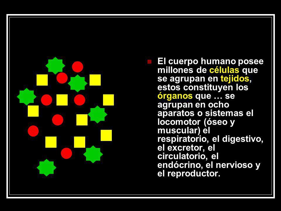 El cuerpo humano posee millones de células que se agrupan en tejidos, estos constituyen los órganos que … se agrupan en ocho aparatos o sistemas el lo