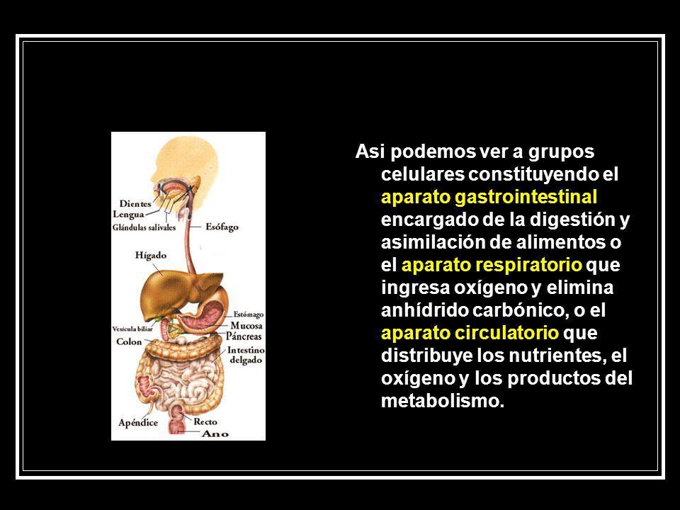 Asi podemos ver a grupos celulares constituyendo el aparato gastrointestinal encargado de la digestión y asimilación de alimentos o el aparato respira