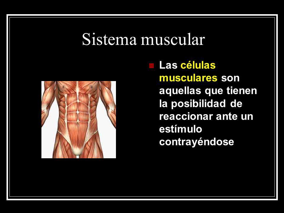 Sistema muscular Las células musculares son aquellas que tienen la posibilidad de reaccionar ante un estímulo contrayéndose