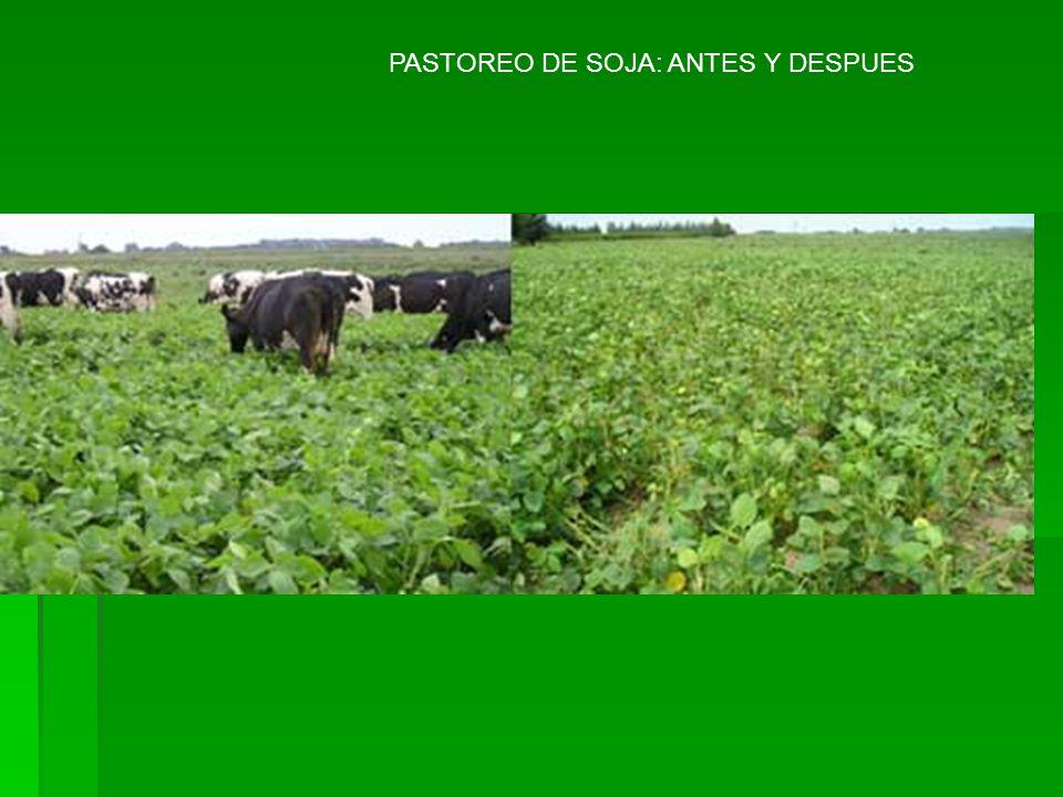PASTOREO DE SOJA: ANTES Y DESPUES