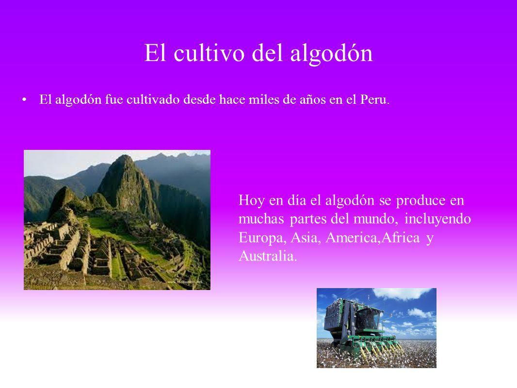 El cultivo del algodón El algodón fue cultivado desde hace miles de años en el Peru. Hoy en día el algodón se produce en muchas partes del mundo, incl