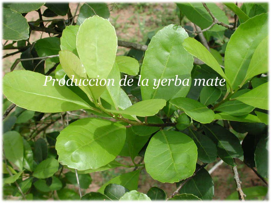 Produccion de la yerba mate