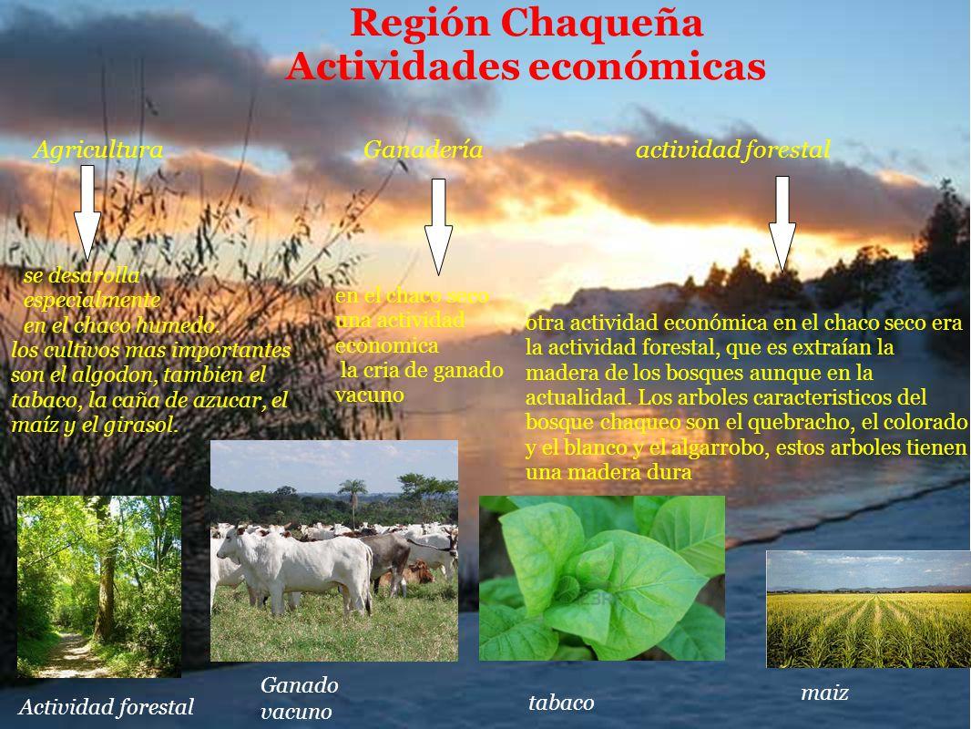 Región Chaqueña Actividades económicas Ganadería Agricultura actividad forestal se desarolla especialmente en el chaco humedo. los cultivos mas import