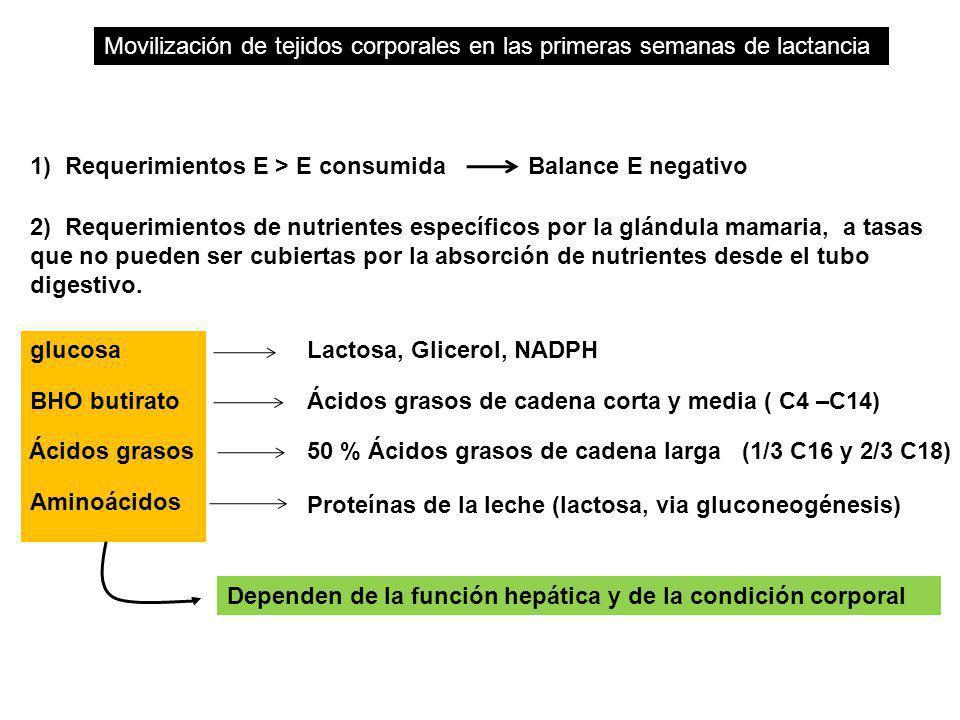 Movilización de tejidos corporales en las primeras semanas de lactancia 1) Requerimientos E > E consumida Balance E negativo 2) Requerimientos de nutr