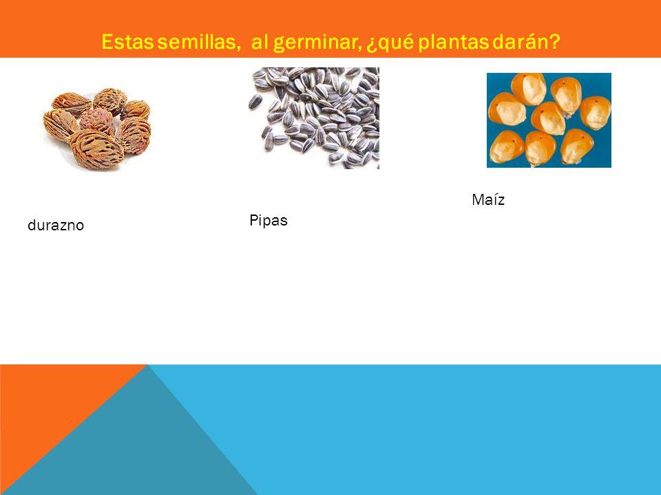 Estas semillas, al germinar, ¿qué plantas darán? Pipas durazno Maíz