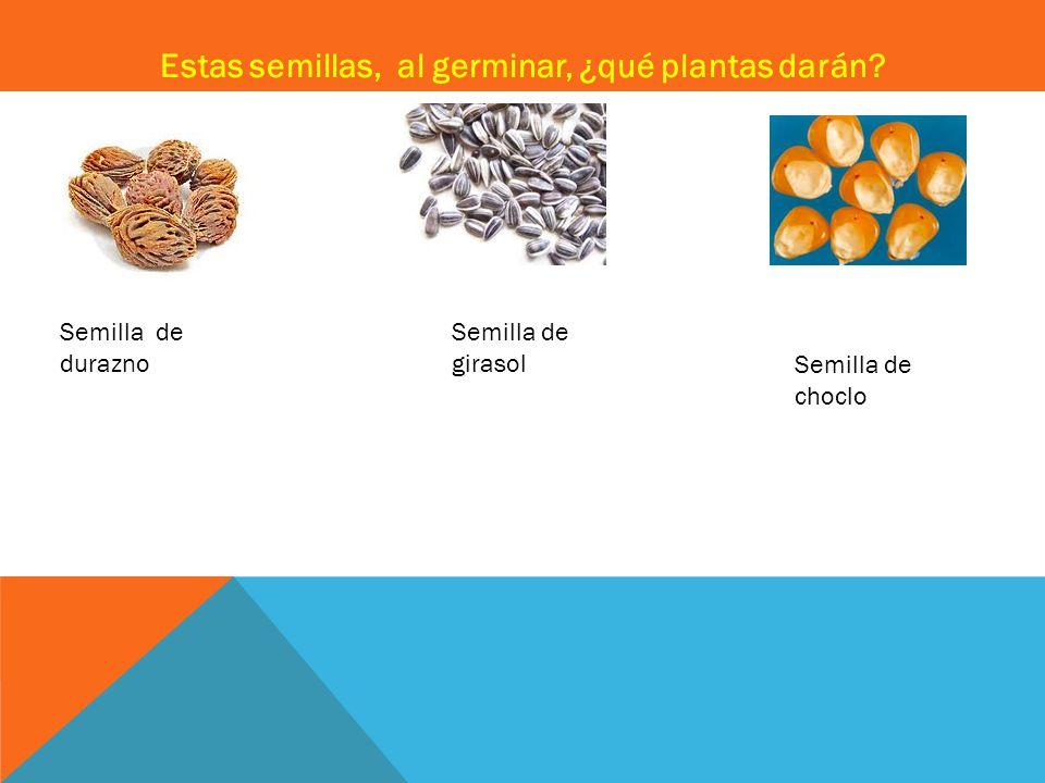 Estas semillas, al germinar, ¿qué plantas darán.