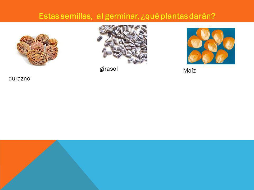 Estas semillas, al germinar, ¿qué plantas darán? durazno girasol Maíz
