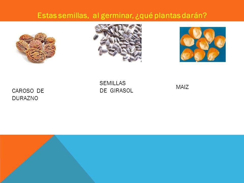 Estas semillas, al germinar, ¿qué plantas darán CAROSO DE DURAZNO SEMILLAS DE GIRASOL MAIZ