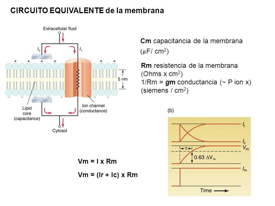 CIRCUITO EQUIVALENTE de la membrana Cm capacitancia de la membrana F/ cm 2 ) Rm resistencia de la membrana (Ohms x cm 2 ) 1/Rm = gm conductancia (~ P