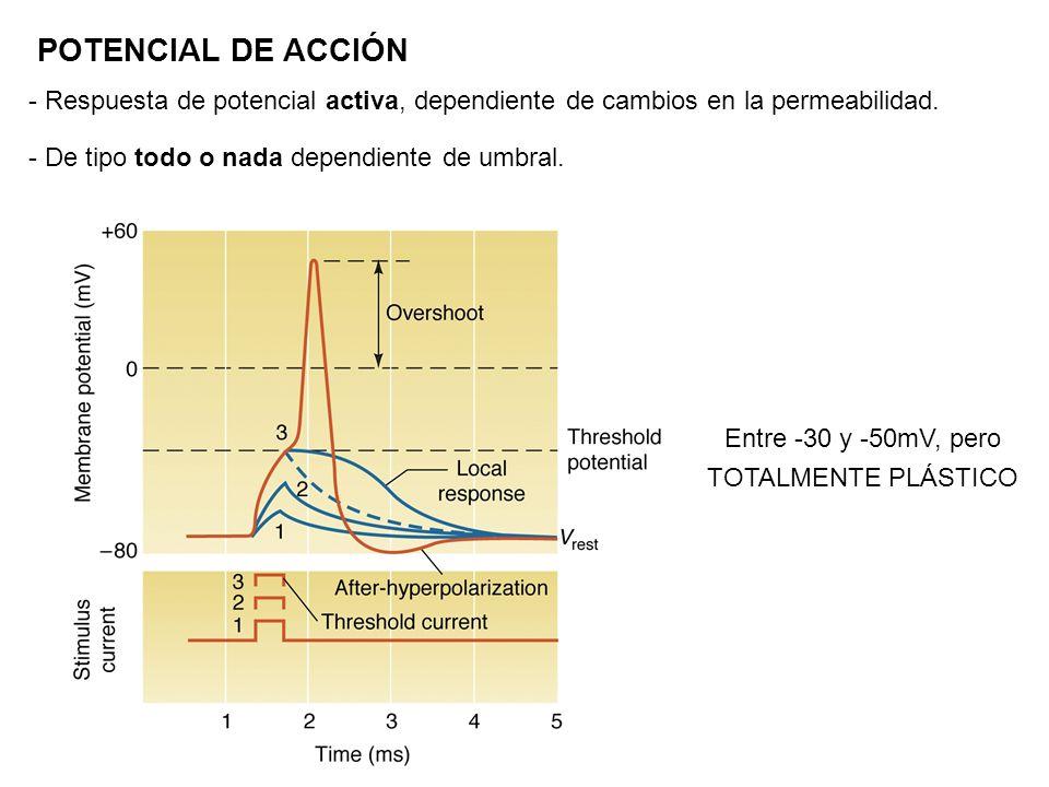 POTENCIAL DE ACCIÓN - Respuesta de potencial activa, dependiente de cambios en la permeabilidad. - De tipo todo o nada dependiente de umbral. Entre -3