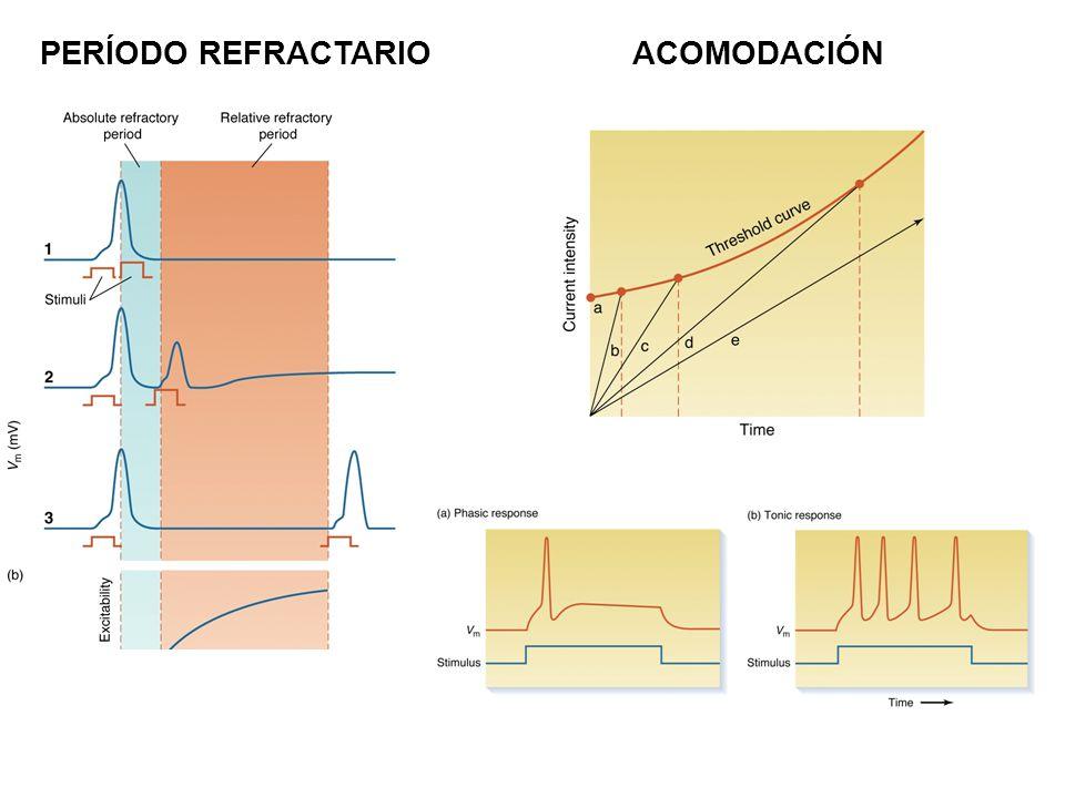 PERÍODO REFRACTARIOACOMODACIÓN