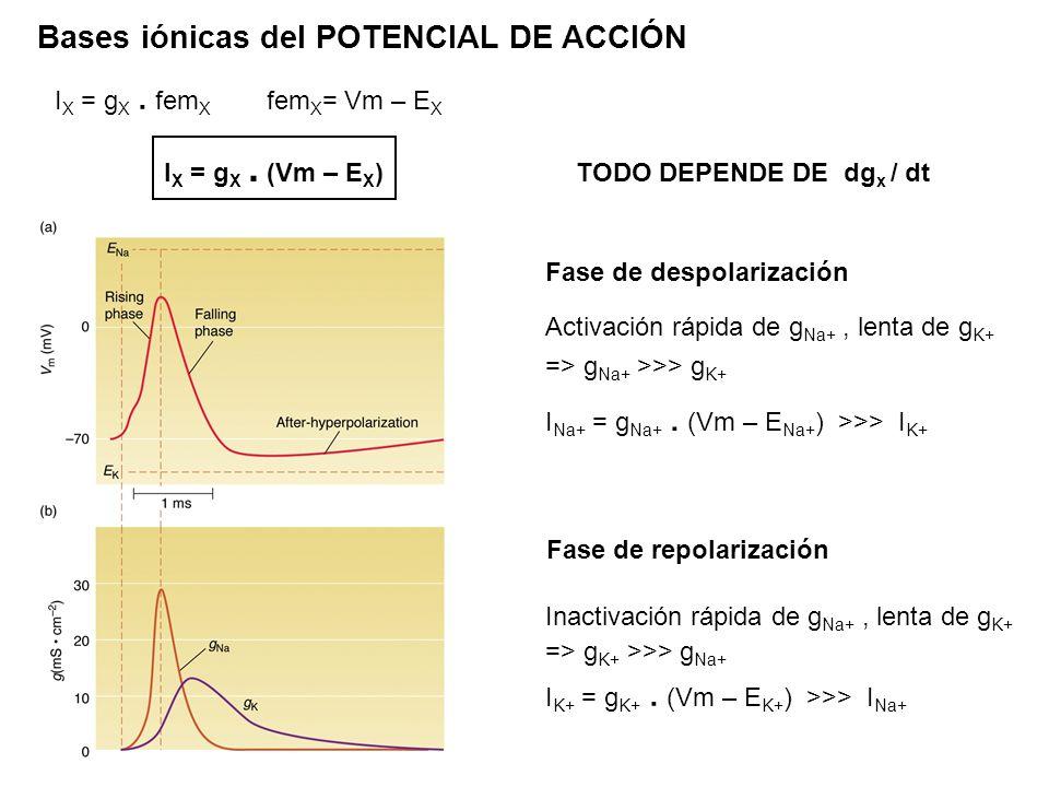 Bases iónicas del POTENCIAL DE ACCIÓN Fase de despolarización Activación rápida de g Na+, lenta de g K+ => g Na+ >>> g K+ I Na+ = g Na+. (Vm – E Na+ )