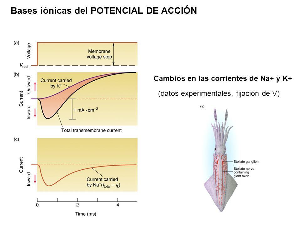 Bases iónicas del POTENCIAL DE ACCIÓN Cambios en las corrientes de Na+ y K+ (datos experimentales, fijación de V)