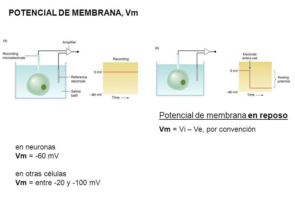 POTENCIAL DE MEMBRANA, Vm en neuronas Vm = -60 mV en otras células Vm = entre -20 y -100 mV Potencial de membrana en reposo Vm = Vi – Ve, por convenci