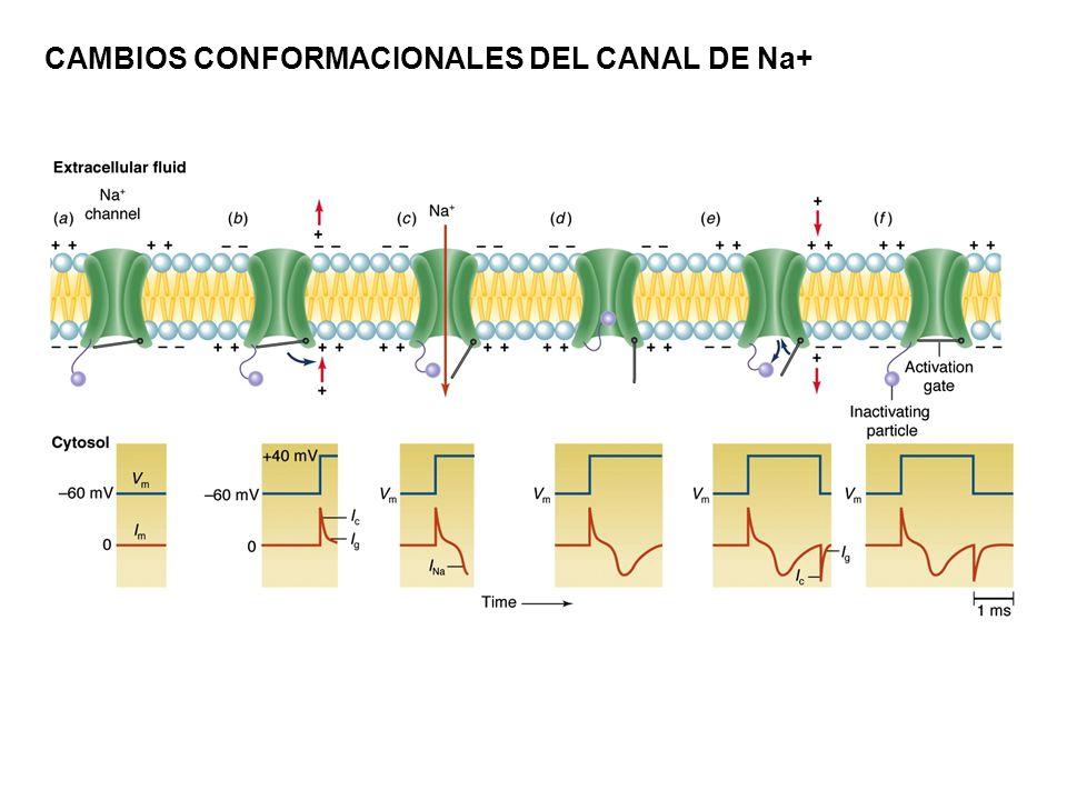 CAMBIOS CONFORMACIONALES DEL CANAL DE Na+