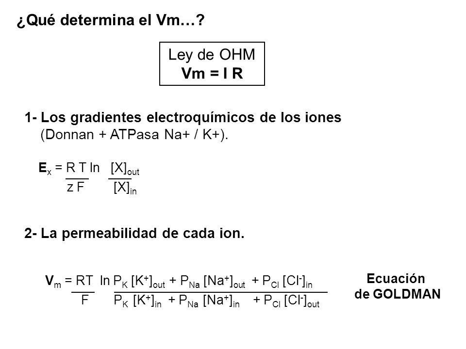 ¿Qué determina el Vm…? 1- Los gradientes electroquímicos de los iones (Donnan + ATPasa Na+ / K+). Ley de OHM Vm = I R 2- La permeabilidad de cada ion.