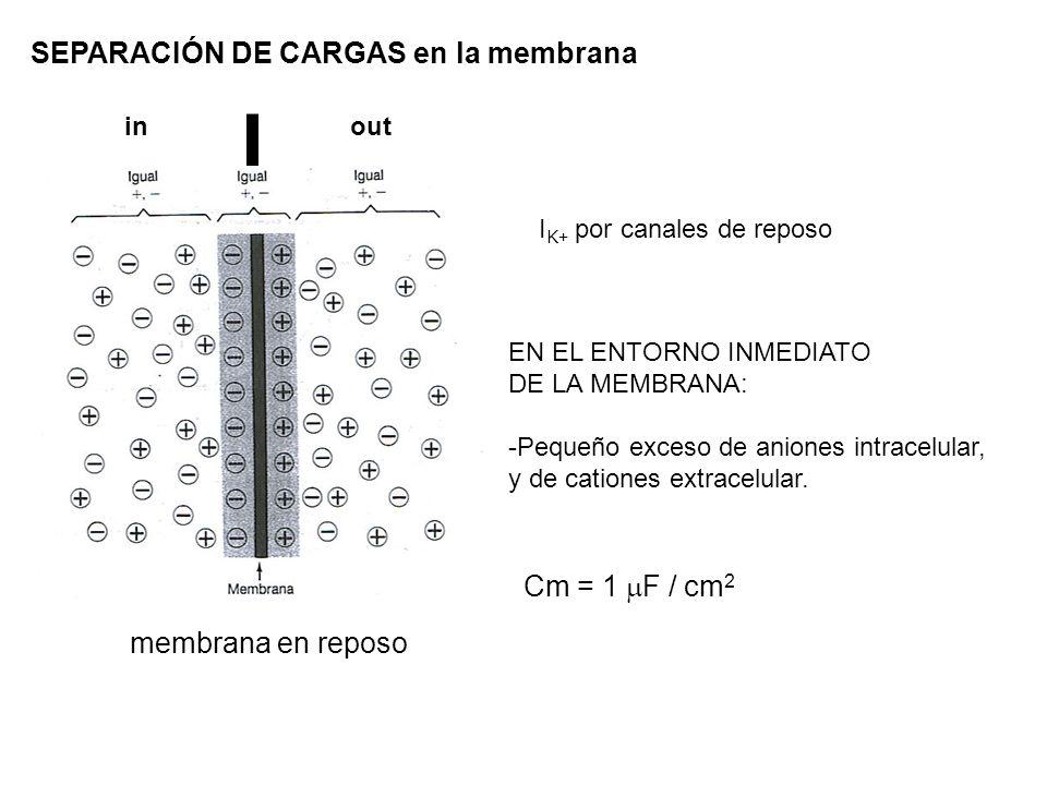 SEPARACIÓN DE CARGAS en la membrana EN EL ENTORNO INMEDIATO DE LA MEMBRANA: -Pequeño exceso de aniones intracelular, y de cationes extracelular. I K+