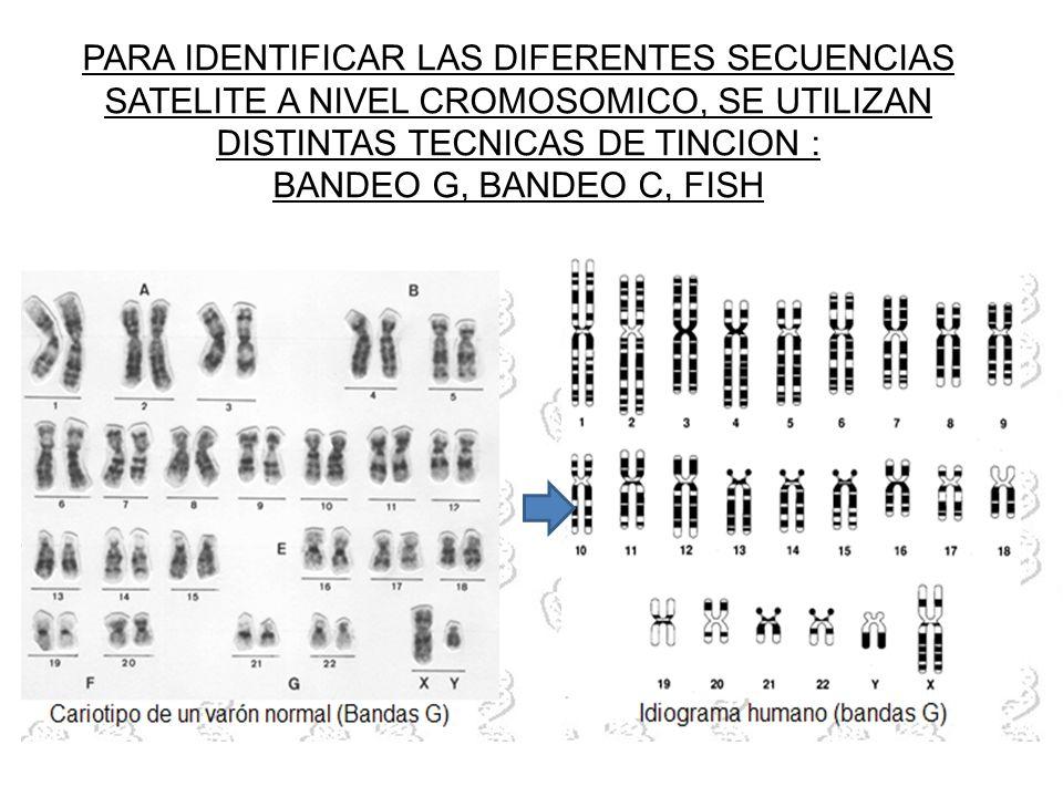 PARA IDENTIFICAR LAS DIFERENTES SECUENCIAS SATELITE A NIVEL CROMOSOMICO, SE UTILIZAN DISTINTAS TECNICAS DE TINCION : BANDEO G, BANDEO C, FISH