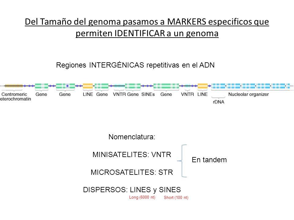Del Tamaño del genoma pasamos a MARKERS especificos que permiten IDENTIFICAR a un genoma Regiones INTERGÉNICAS repetitivas en el ADN Nomenclatura: MIN