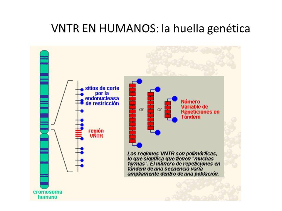 VNTR EN HUMANOS: la huella genética